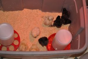 chick diaries - day one: new flock, new home by DragonusPrime