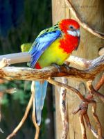 Adorable Rainbow Bird - a Fake Parrot? by Cloudwhisperer67
