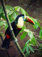 Toucan by anneclaires