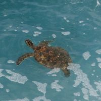 honu 2 by manaphoto-stock
