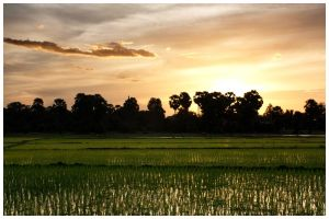 Sunset in rice field by WindDesert