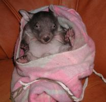 Wombat joey by brunette-from-oz