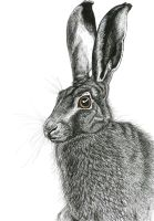 The Hare: pen drawing by TheLittleWren