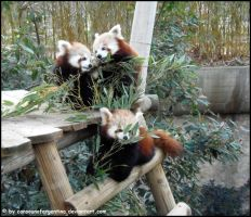 Red panda family by Cansounofargentina