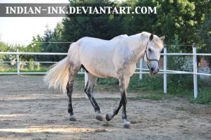 Dappled Grey Stallion 5 by Indian-Ink