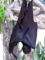 Hanging Fruit bat by zarozinia68