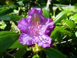 Rhododendron by Cally-wally