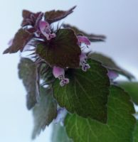 Purple Deadnettle by Daisy919