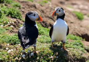 Puffin Duo by Jasman71
