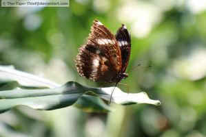 Great Eggfly by The-Tiger-Thief