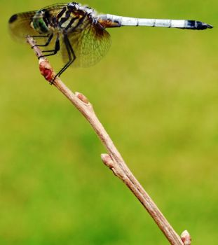 dragonfly by nadnad1992