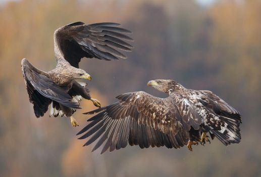 White-tailed eagles by BogdanBoev