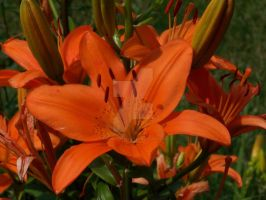 Red Asiatic Lily 2 by racheltorres921