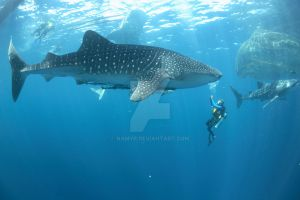 Shark Species ID: Whale Shark by Namyr