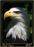 Bald Eagle by SteelCowboy