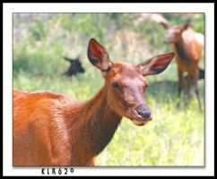 Young Elk by KLR620