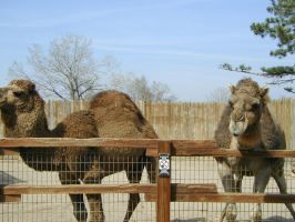 Camels - Watch out they spit by Xanamiar