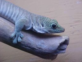 Day Gecko by imerald