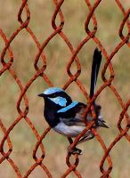 Blue Wren by ozplasmic