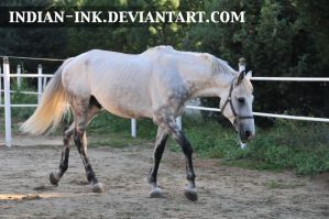 Dappled Grey Stallion 4 by Indian-Ink