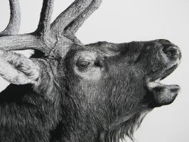 Elk Detail by billharrison