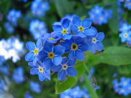 Forget-me-not by DuskDreamscapes