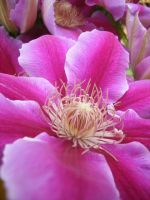 Clematis by Yashafreak2709