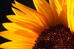 Sunflower by LivingImages