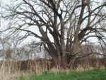 Biggest Tree In Kansas by jldimme1