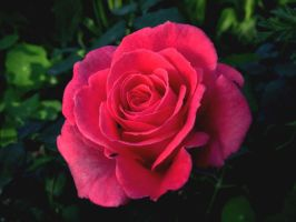 Pink Rose by latrieste