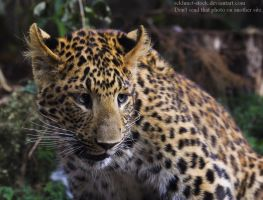 Chinese Panther 1_ stock img by sekhmet-stock
