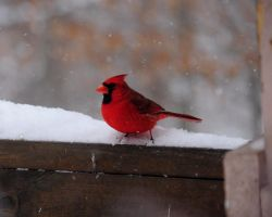 Cardinal  Red Bird by MikeysPhotos