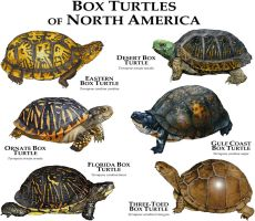 Box Turtles of North America by rogerdhall
