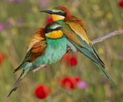 I can sing a rainbow - European Bee-eaters by Jamie-MacArthur