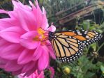 monarch butterfly on purple flower by Lionessrules