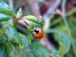 Orange ladybird by Naynee75
