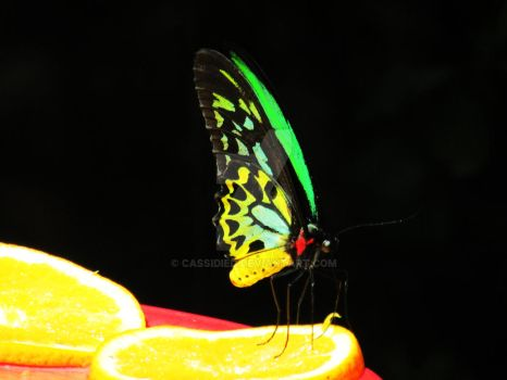 butterfly 2 by cassidied