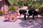 Costa Rican Coffee Ox Cart Driver by AndySerrano