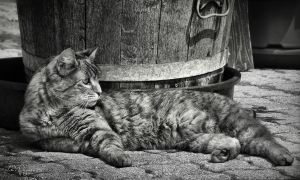 Lazy Cat by Pajunen