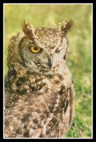 American spotted owl by UnrehearsedSplendour