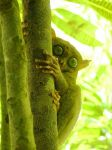 tarsier by blacksheepwall