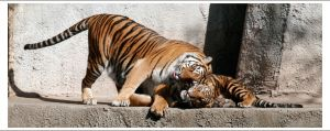 Tigers - 993 by eight-eight
