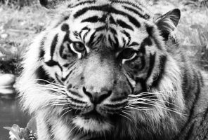 Tiger close up by CiindyCore