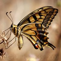 Iphiclides Podalirius by GRiAMBaSSaDoR