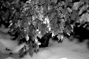 Leaves of Winter B and W by whitedragoneyes