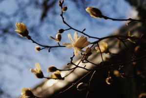 Magnolia Branches 1 by Tyyourshoes