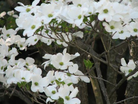 White Blossoms 03 by LithiumStock