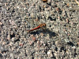 Red Dragonfly by linderel