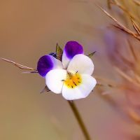 pansy by efeline