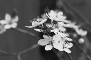 Blossom [BW] by KB-Fotografie